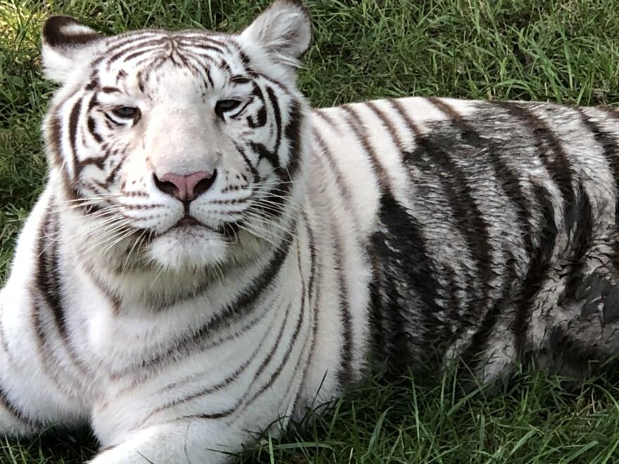6.18.20_Olivia the tiger at Cedar Cove_Steve Klein.jpeg