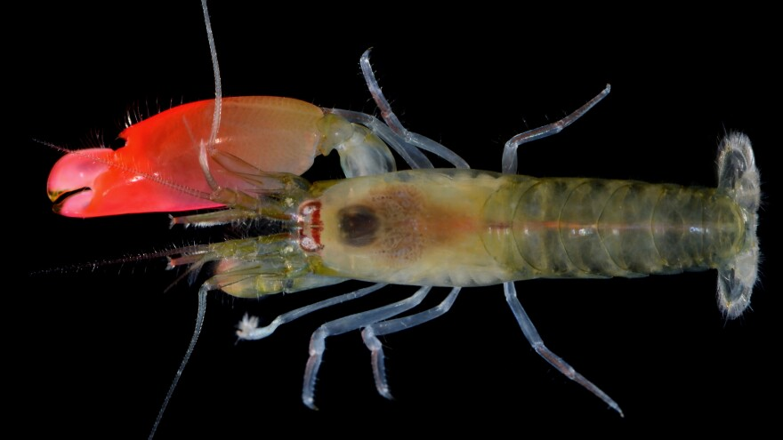 Synalpheus pinkfloydi, which was recently named after the band Pink Floyd, for the distinctive coloration of its claw.