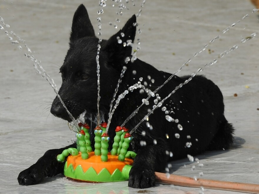 Dealing with the dog days: This pooch in Manhattan found one way to stay cool Thursday (July 21, 2011).