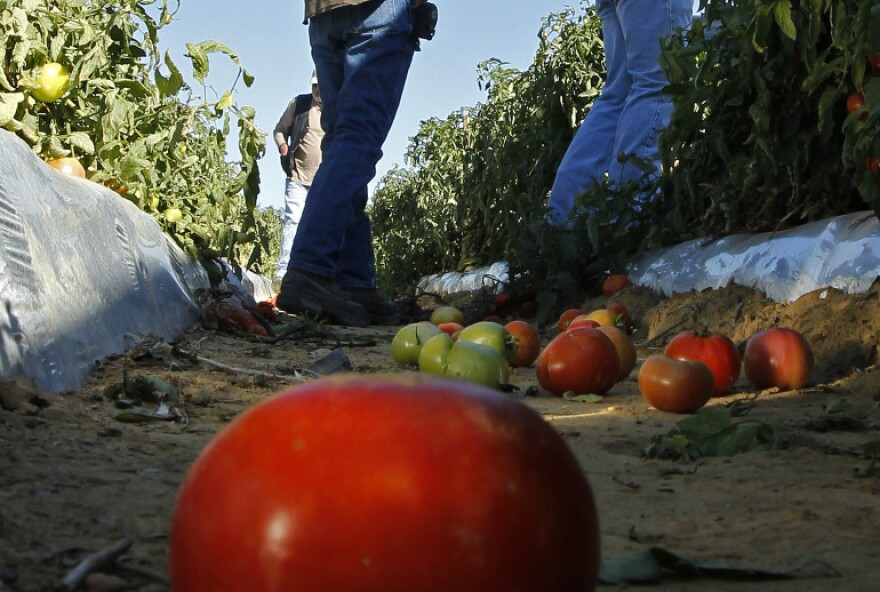 Tomato farmers look over their fields in October, before harvest. Now, as the planting season nears for next year's crop, some farmers are worried they won't have enough workers due to Alabama's tough immigration law passed earlier in the year.