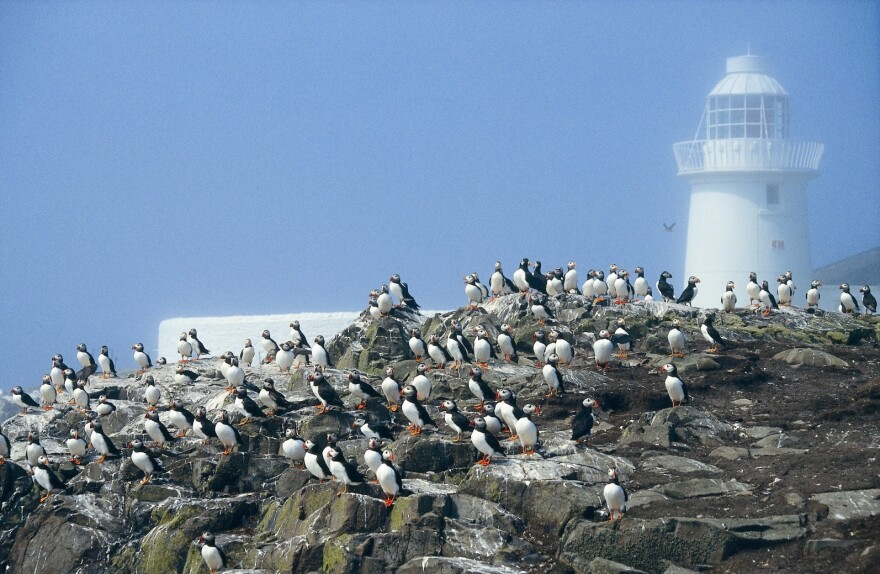 Puffins on Farne Islands where many puffin burrows have drowned.