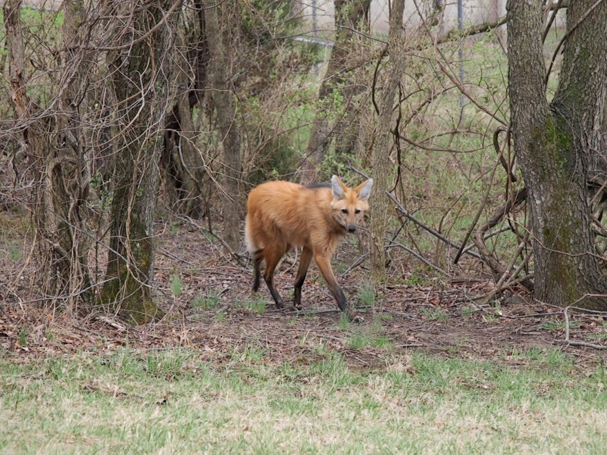 A maned wolf at the Smithsonian Conservation Biology Institute in Front Royal, Virginia.