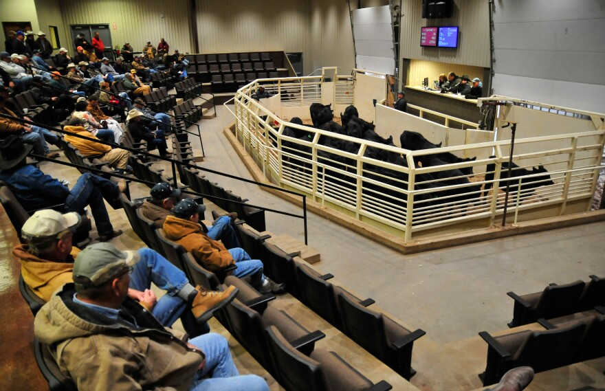 Buyers examine cattle for auction at OKC West Livestock Market in El Reno, Okla.