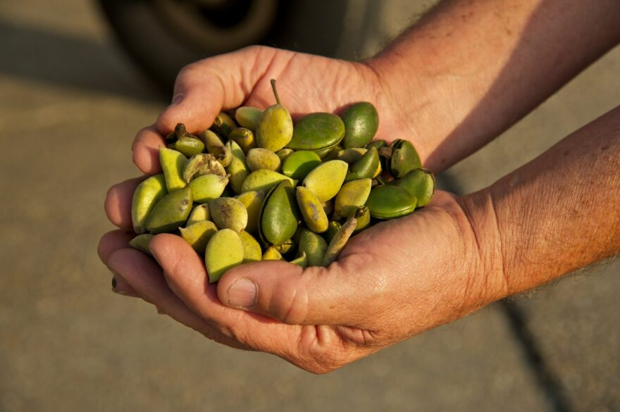 A handful of propagules, or seeds, from the mangrove plant. (Courtesy ConocoPhillips)