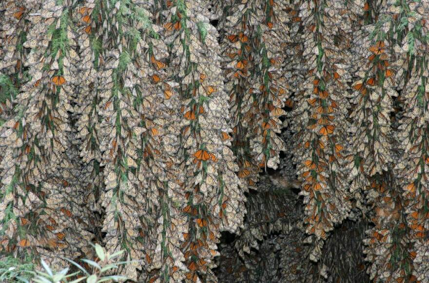 Monarchs_on_an_oyamel_fir_tree.jpg