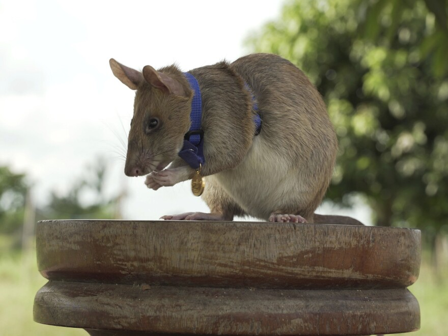 Magawa, a rat that has been trained to detect explosives, was awarded the PDSA Gold Medal on Friday for his bravery in searching out unexploded landmines in Cambodia.