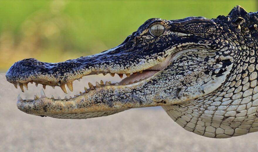 american_alligator.jpg
