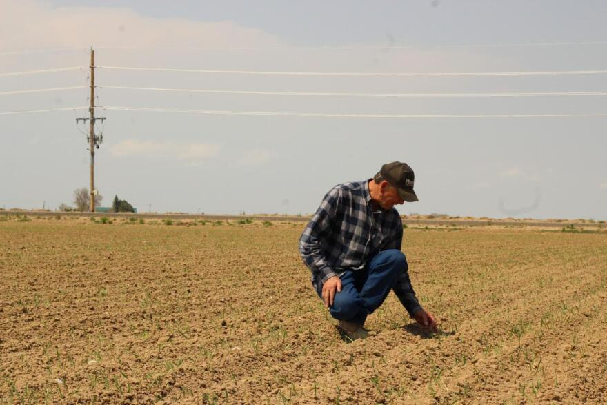 Steve Kelly kneels among the rows of sugar beets on his Greeley, Colorado, farm. He says GMO seeds allow him to grow more beets on less land.