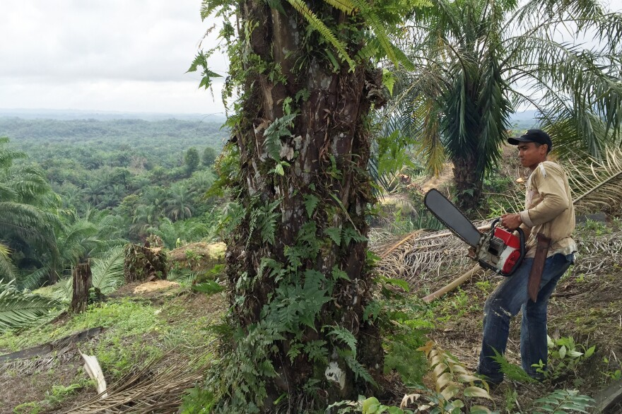 A forest worker fells palm trees on an illegal palm oil plantation in the province of Aceh, Indonesia.