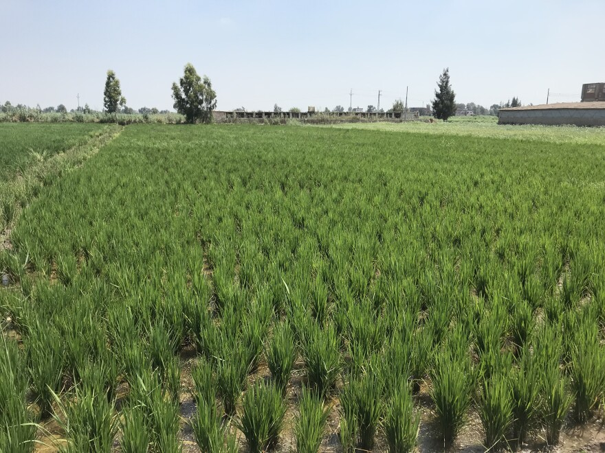 Missouri rice farmers to export rice to Egypt