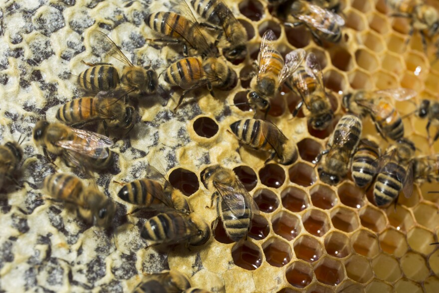 This week on Florida Matters we learn about how the state's honey bee population is faring.