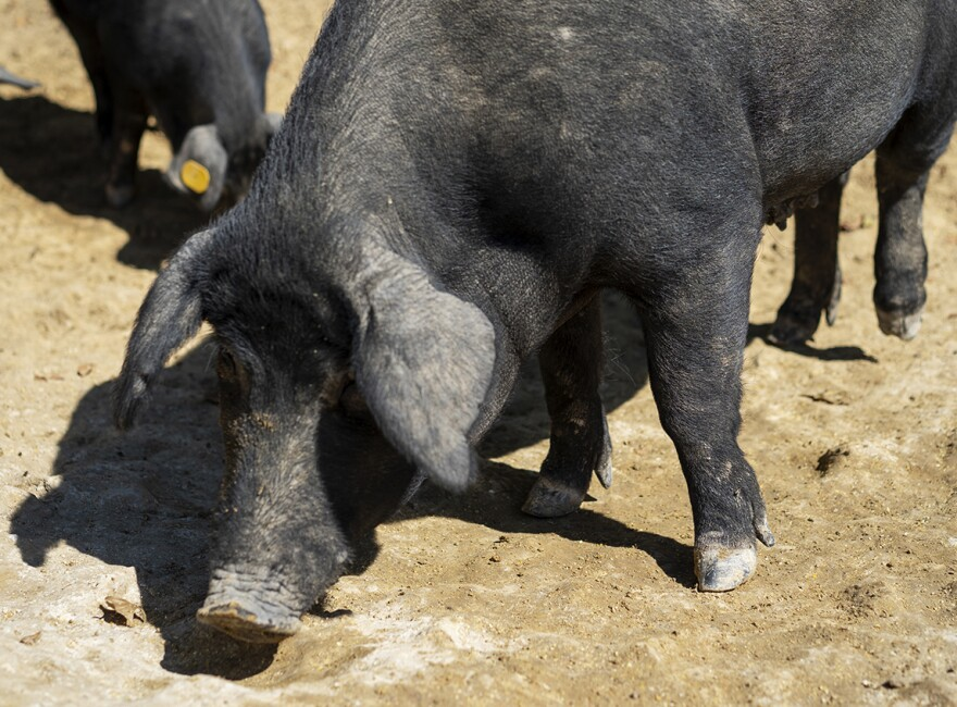 American mulefoot hogs chow down on fermented grain. The hogs forage on 12 acres of forest and pasture at Green Finned Hippy Farm in south-central Illinois.