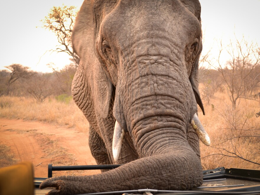 An elephant in South African offers an up-close glimpse of its prodigious instrument. According to Sean Hensman of Adventures with Elephants, trunks like this one could help the U.S. Army develop a better landmine sensor.