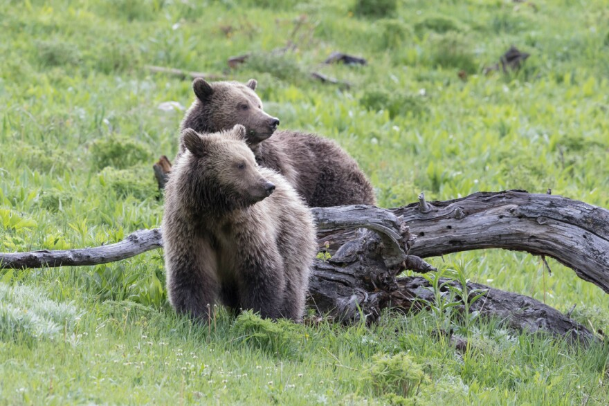 A grizzly bear mother and cub in Yellowstone Park.