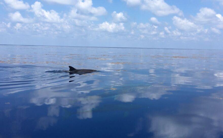 Dolphin swimming.