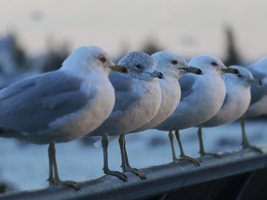Gulls were eating more juvenile salmon than biologists realized, which meant fewer of the fish were making it to the ocean.