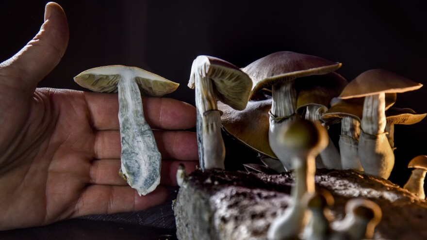 WASHINGTON, DC - FEBRUARY 5: A DC resident has an operation growing psilocybin mushrooms.  With the legalization of marijuana advocates in several states including Oregon have pushed the legalization of other drugs such as 'magic mushrooms'.  (Photo by Jahi Chikwendiu/The Washington Post via Getty Images)