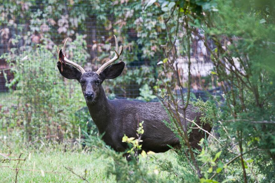 Photo of Coal the deer peering at the camera from behind some brush.