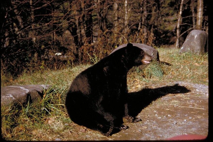 black_bear_2.jpg