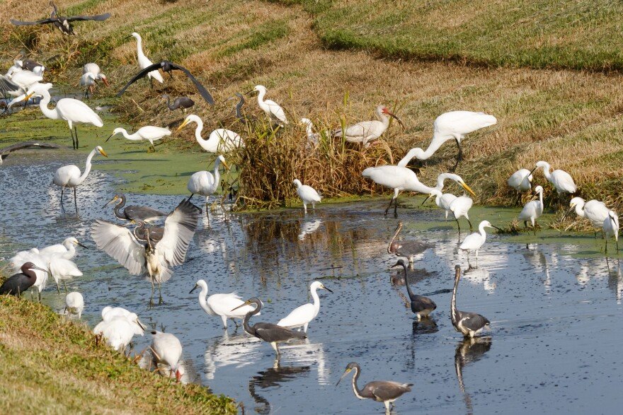 Multiple kinds of birds wading in water.