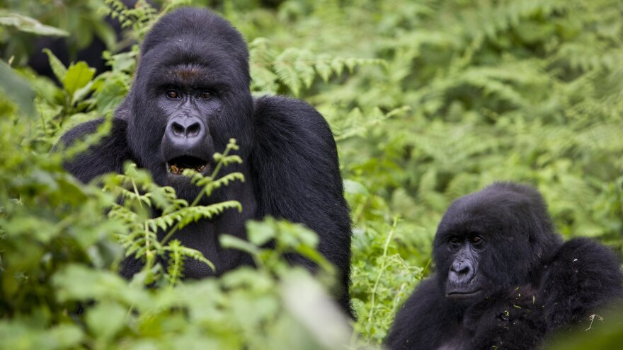 One-quarter of the endangered mountain gorilla population lives in the Virunga National Park, which activists are trying to protect from oil exploration.