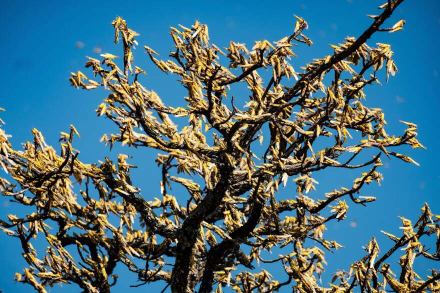 Swarms of locusts land and feed on shea trees, which are a big source of food and income for local farmers, earlier this month in Otuke, Uganda.