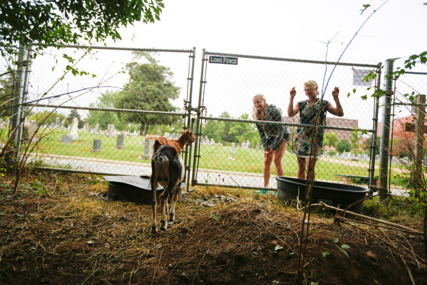 Some of the goats are more interested in schmoozing with visitors than in eating weeds. Over 1,000 people have come to see the goats since they started work at the cemetery Thursday.