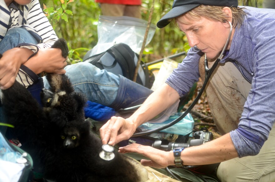 Dr. Deem examines a lemur while working in Madagascar.