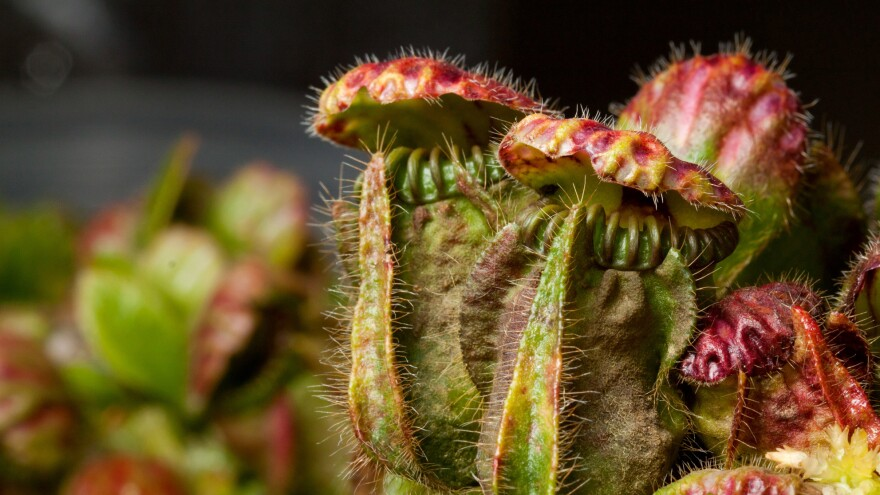 The Australian pitcher plant repurposed some of its genes in order to digest bugs.