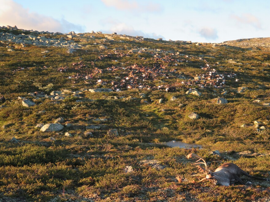 The lightning storm killed 323 reindeer on the Hardangervidda plateau in central Norway. The government estimates that about 10,000 reindeer live in the area.