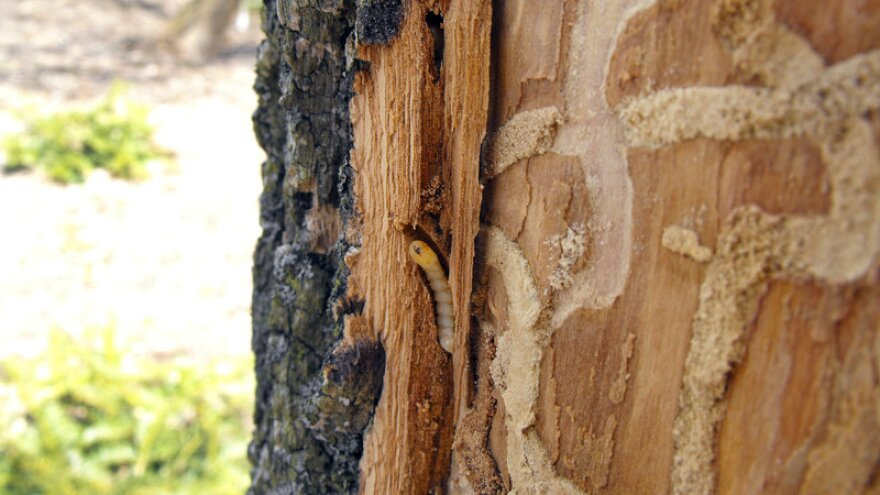 Emerald ash borer larvae carve grooves into the wood of ash trees, interfering with the flow of water and nutrients within the tree.